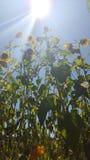 Sehr hohes Sonnenblumenfeld Stockfoto
