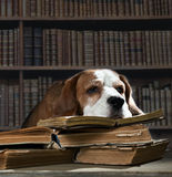 Sehr intelligenter Hund Lizenzfreie Stockbilder