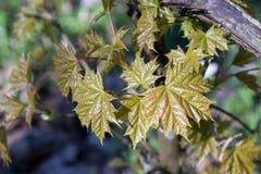 Sehr junge neue Ahornblätter Acer-platanoides im Frühjahr Stockbild