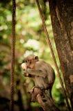 Sehr junger Makaken Eatin auf einem Baum Stockbilder