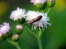 Sehr kleine Motte auf der Blume Stockfotografie