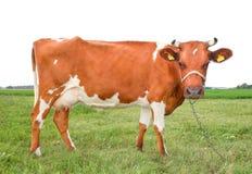 Sehr lustige beschmutzte rote und weiße Kuh steht auf drei Beinen und Stirnrunzeln Kuh lokalisiert auf weißem Hintergrund stockfotos
