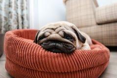 Sehr müder Pug auf dem Ruhesessel lizenzfreies stockbild