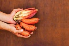 Sehr neues rotes Bananenbündel in den Händen Stockfotografie