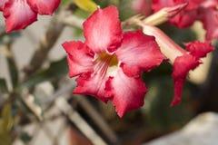 Sehr recht bunter Adenium in meinem Garten Lizenzfreie Stockfotografie