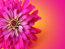 Sehr Rosa Stockbild