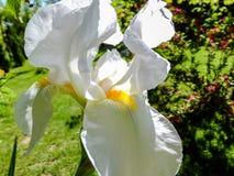 Sehr schönes weißes Iris germanica oder Schwertlilie auf dem Hintergrund des hellgrünen landschaftlich gestalteten Gartens lizenzfreies stockfoto