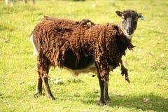 Sehr schäbige braune Schafe, welche die Kamera betrachten Stockfotos