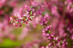 Sehr schöne Frühlingsbaum-Rosablüten ein Hintergrund Lizenzfreies Stockbild