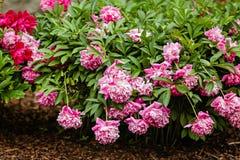 Sehr schöne rosa Pfingstrosen gemacht in einem Blumenstrauß Lizenzfreie Stockfotografie