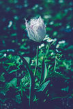 Sehr schöner Abschluss herauf Foto der weißen Tulpe Mitternachtsmondscheinblick Stockfoto