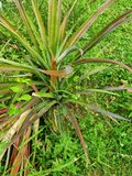Sehr schöner roter Ananasbaum lizenzfreie stockbilder