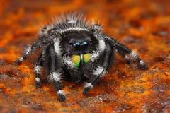 Sehr scharfes Foto der US-springenden Spinne Phiddipus Stockfotografie