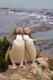 Sehr seltene Paare von Gelb-äugigem Pengui, Megadyptes-Antipoden Lizenzfreie Stockfotografie