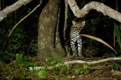 Sehr seltene Pardelkatze in der Nacht des brasilianischen Dschungels lizenzfreie stockfotografie