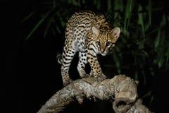 Sehr seltene Pardelkatze in der Nacht des brasilianischen Dschungels stockfotografie