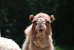 Sehr Shaggy Dromedary Camel mit einem süßen Gesicht lizenzfreie stockfotos