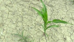 Sehr trockenes Feld der Dürre mit Maismais Zea Mai, Verlandung der Boden stock video