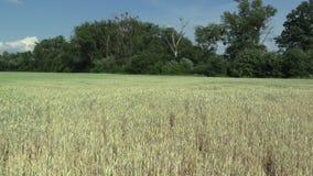 Sehr trockenes Feldland der Dürre mit den unausgereiften Ohren Weizen Triticum aestivum und Blätter und Stämme, Verlandung der Bo stock video footage