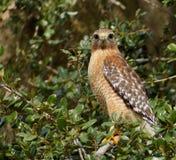 Sehr wachsamer Falke im Baum Stockfotos