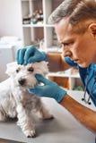 Sehvermögen ist es wichtig Männlicher Tierarzt von mittlerem Alter in der Arbeitsuniform Augen eines kleinen netten Hundes in der lizenzfreie stockfotos