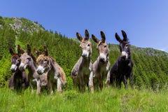 Sei asini divertenti curiosi in montagne carpatiche Fotografia Stock