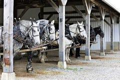 Sei cavalli che aspettano azione Fotografia Stock