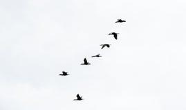 Sei cormorani nella formazione sul cielo bianco Fotografie Stock