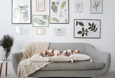 Sei cuccioli inglesi del bulldog che si siedono sul sofà grigio nella sala Immagine Stock