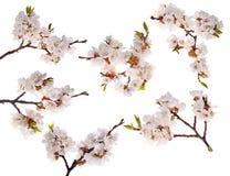 Sei filiali del ciliegio con il lotto dei fiori Immagini Stock Libere da Diritti