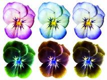 Sei fiori colorati ed invertiti differenti della pansé fotografie stock