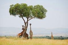Sei giraffe curiose Fotografia Stock