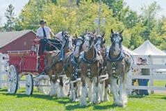Sei gruppi del cavallo di Clydesdales alla fiera paesana Fotografie Stock Libere da Diritti