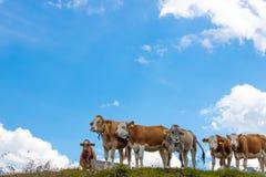 Sei mucche su un prato verde nelle alpi austriache Immagine Stock Libera da Diritti