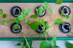 Sei piante che crescono nel sistema netto di coltura idroponica della fibra di cocco dei Cochi e dei vasi Fotografia Stock Libera da Diritti