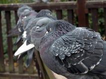 Sei piccioni in una fila Fotografie Stock Libere da Diritti