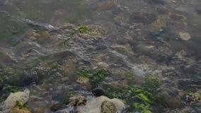 Seichtes Uferwasser und grünes Kelp stock footage