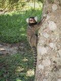 Seidenäffchen-Affe auf einem Baum Stockfotografie