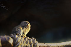 Seidenäffchenaffeporträt im Zoo Innen Stockfotografie