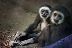 Seidenäffchenaffeporträt im Zoo Innen Lizenzfreie Stockbilder