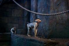 Seidenäffchenaffeporträt im Zoo Innen Stockfoto