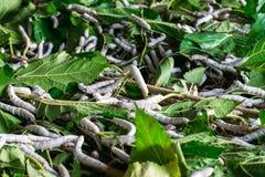 Seidenraupe, die Blattmaulbeere isst stockbilder