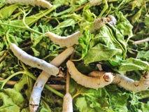 Seidenraupe, Larven essen Morus den alba lizenzfreies stockbild