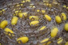Seidenraupe stellt einen silk Kokon gelbe Fasern her Stockfotos