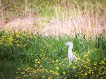Seidenreiher Egretta garzetta, das auf das Gras auf dem Gebiet geht Stockbilder