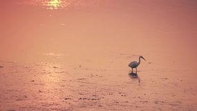 Seidenreiher geht in das goldene Wasser bei Sonnenuntergang stock video footage