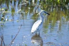Seidenreiher-züchtender Erwachsener in Sweetwater-Sumpfgebieten Stockfotografie