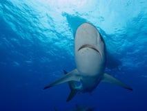 Seidige Haifische unter Boot im klaren blauen Wasser stockbilder