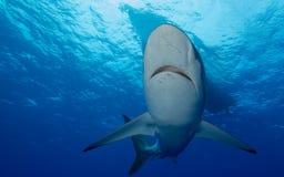 Seidige Haifische unter Boot im klaren blauen Wasser lizenzfreie stockbilder