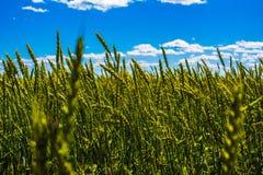 Seigle de vert de Frash sous le ciel bleu large Photo stock